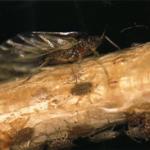 <em>Pterocomma populeum</em> Kaltenbach, nueva plaga de las choperas.