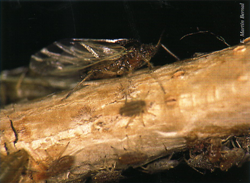 Insectos adultos alimentándose (Foto: E. Martín Bernal).