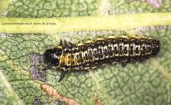 Larva comiendo en el envés de la hoja (Foto: E. Martín Bernal).