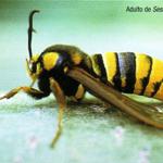 <em>Sesia apiformis</em> L., oruga perforadora de chopos.