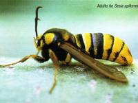 Adulto de Sesia apiformis (Foto: E. Martín Bernal)