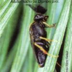 <em>Diprion pini</em> L., Insecto defoliador de pinos.