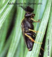 Adulto macho de Diprion pini (Foto: Victor Pérez Fortea)