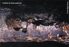Crisálida de Sesia apiformis (Foto: E. Martín Bernal)