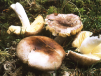 Russula cessans