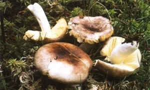 Russula cessans