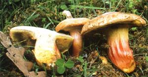 Xerocomus armeniacus