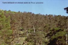 Fuerte defoliación en arbolado adulto de Pinus sylvestris (Foto: Victor Pérez Fortea)