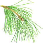 <em>Pinus halepensis</em> y <em>Pinus brutia</em>, Pinos carrasco y brutia.