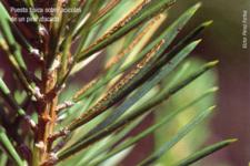 Puesta típica sobre acículas de un pino atacado (Foto: Victor Pérez Fortea)