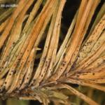 <em>Sirococcus conigenus</em> (Cannon & Minter); Enfermedad de los pinos.