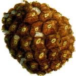 <em>Pinus pinea</em>, Pino piñonero.