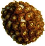 Pina Pinus pinea