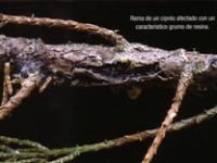 Rama de un cipres afectado con un caracteristico grumo de resina (Foto: E. Martín Bernal).