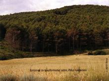 Síntomas de la enfermedad sobre Pinus halepensis (Foto: E. Martín Bernal).