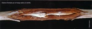 Chancro formado por el hongo sobre un ramillo (Foto: E. Martín Bernal).