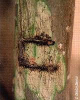 Daño en el tronco de un chopo provocado por C. lapathi (Foto: E. Martín Bermal).