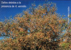 Daños debidos a la presnecia de K. vermilio (Foto: Nieves Ibarra Ibáñez).