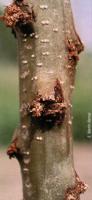 Daños en el tronco de un chopo provocados por C. lapathi (Foto: E. Martín Bermal).
