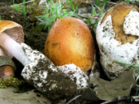 Amanita crocea var. subnudipes.