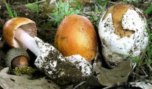 Amanita crocea var. subnudipes.