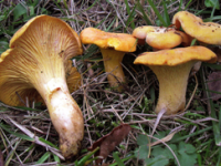 Cantharellus cibarius.
