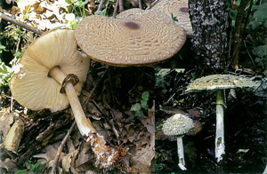 Macrolepiota rhacodes