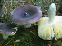 Russula amara.