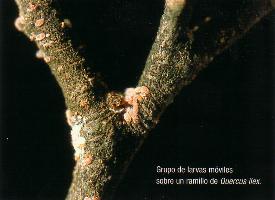 Grupo de larvas moviles sobre ramillo de Quercus ilex.
