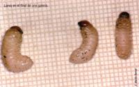 Larva en el final de una galería (Foto: E. Martín Bermal).