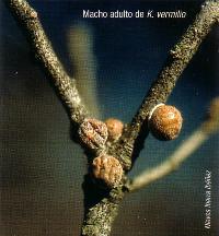 Macho adulto de K. vermilio (Foto: Nieves Ibarra Ibáñez).