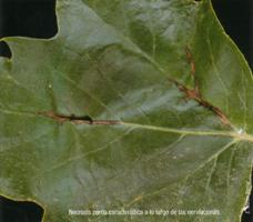 Necrosis parda característica a lo largo de las nerviaciones (Foto: E. Martín Bernal).