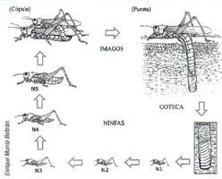 Ciclo biológico de Dociostaurus maroccanus (Foto: Enrique Murria Beltrán).
