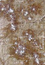 Detalle de exudados sobre la corteza de un chopo afectado (Foto: Adrián Martínez Garbayo).