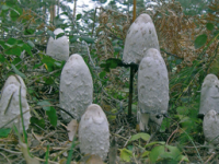 Coprinus comatus.