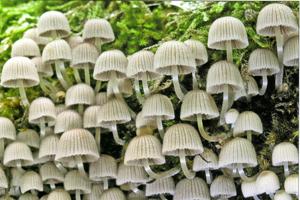 Coprinus disseminatus.
