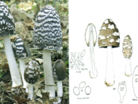 Coprinus picaceus.