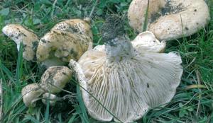 Lactarius acerrimus.