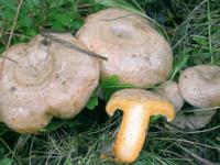 Lactarius quieticolor.