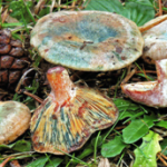 <em>Lactarius semisanguifluus.</em>