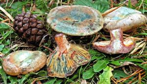Lactarius semisanguifluus