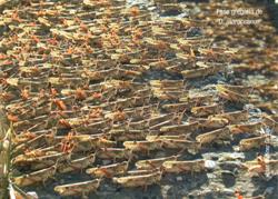 Fase gregaria de D. maroccanus (Foto: Adán Martínez Garbayo).