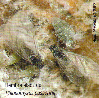 Hembra alada de Phloeomyzus passerinii (Foto: Adrián Martínez Garbayo).
