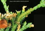 <em>Gelechia senticetella</em> STAUDINGER: oruga defoliadora de sabinas.