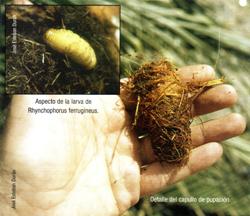Capullo de pupación y larva de Rhynchophorus ferrugineus (Foto: José Esteban Durán).