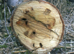 Corte transversal de un tronco afectado (Foto: Nieves Ibarra Ibáñez)