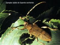 Ejemplar adulto de Saperda carcharias (Foto: Nieves Ibarra Ibáñez)