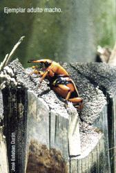 Ejemplar adulto macho (Foto: José Esteban Durán).
