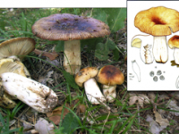 Russula foetens.
