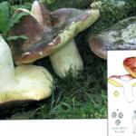 <em>Russula olivacea.</em>